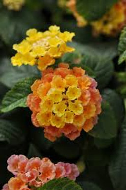 Lantana Little Lucky Orange