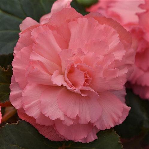 Begonia AmeriHybrid Ruffled Pink
