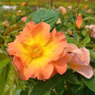 Rose, Morden Sunrise