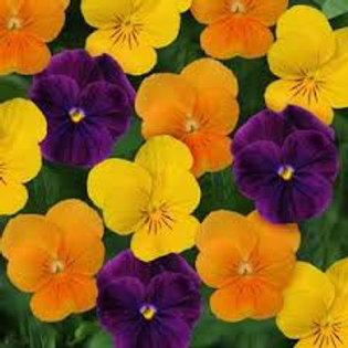 Viola Sorbet Harvest Mix