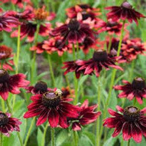 "Cone Flower Rudbeckia Hirta 'Cherry Brandy"" Perennial"