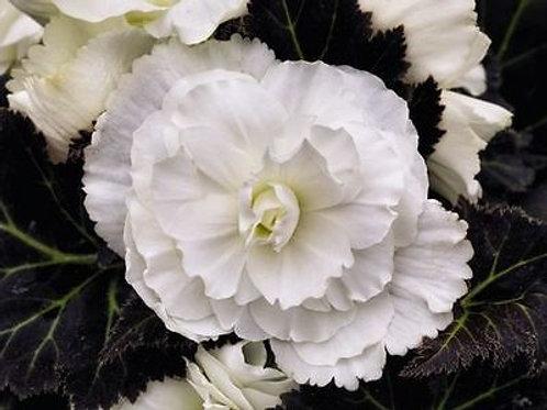 Tuberous Begonia Nonstop Mocca White