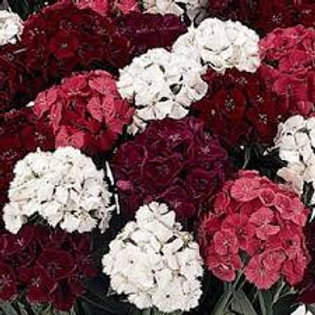 Dianthus Sweet Black
