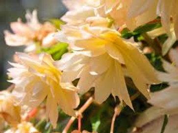 Begonia Belleconia Cream