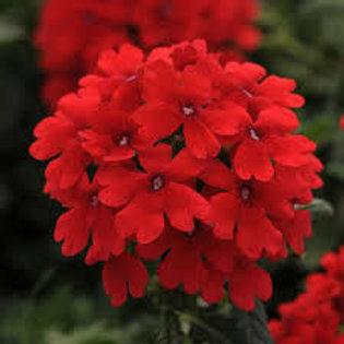 Verbena Firehouse Red
