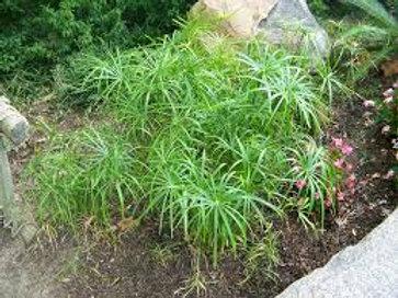 Cyperus Involucratus Graceful Grasses Baby Tut