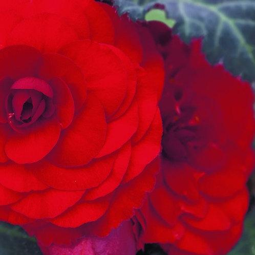 Tuberous Begonia Nonstop Red