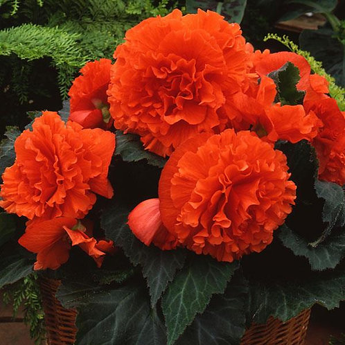 Begonia AmeriHybrid Ruffled Mandarin Orange