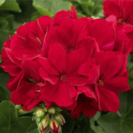 Calliope® Large Dark Red