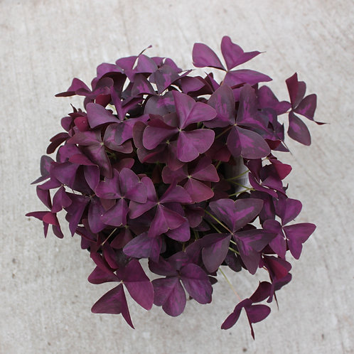 Proven Accents Charmed Wine ~ Oxalis Hybrid
