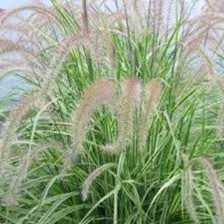 Graceful Grasses 'Sky Rocket'