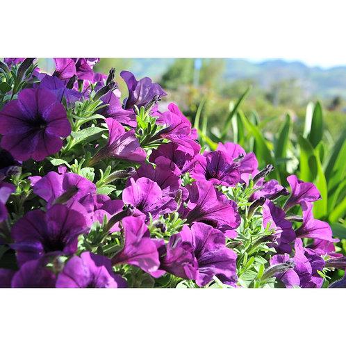 Petunia Pico Lilac Blue