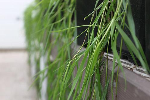 """Green Twist"" Trailing Bamboo"
