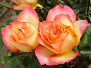 Rose, Rainbow Sorbet