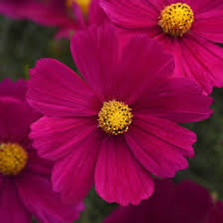 Cosmo Sanata Purple Shades