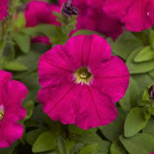 Petunia Picola Hot Pink