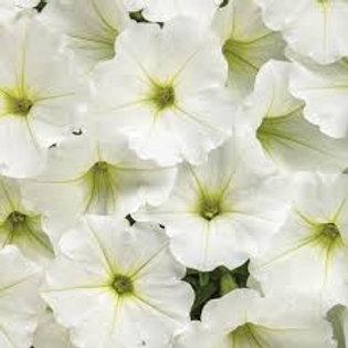 Petunia Supertunia Trailing White