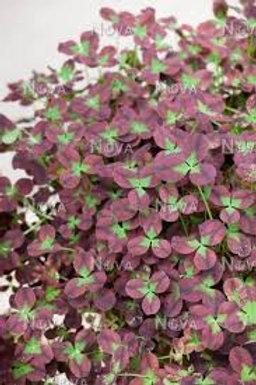 Limerick Leonore Trifolium