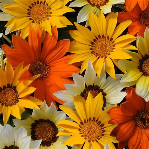 New Day® Sunny Side Up Mixture Gazania