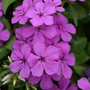 Pholx Gisele Light Violet