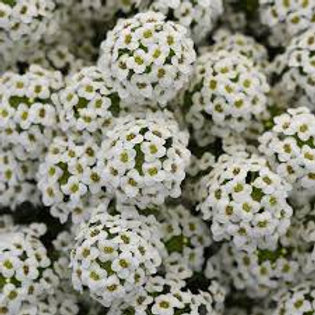 Sweet Alyssum White