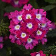 Verbena Cadet Upright Hot Pink Wink