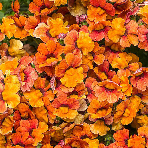 Nemesia Hybrid Sunsatia Blood Orange