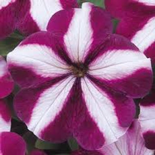 Petunia Madness Burgundy Star