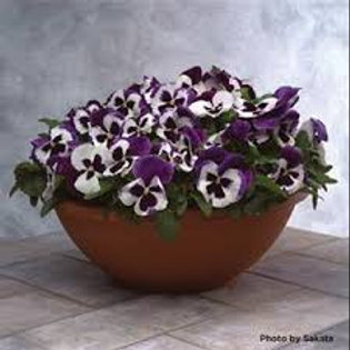 Pansy Majestic Giants II Blue & White