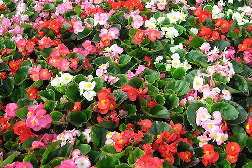 Begonia Bada Bing