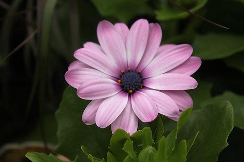 Ostespermum Pink Serenity