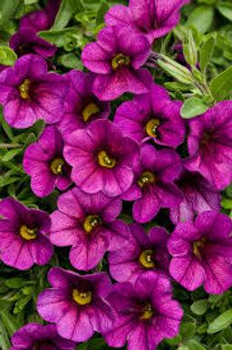 Calibrachoa Superbells Plum
