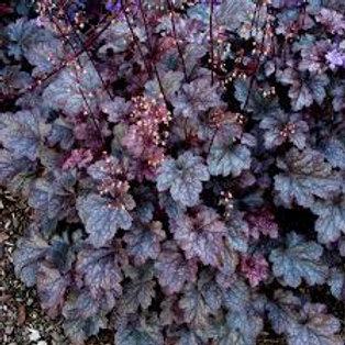 """Coral BellsHeuchera """"Frosted Violet"""""""
