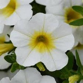 Calibrachoa MiniFamous White+Yellow Eye