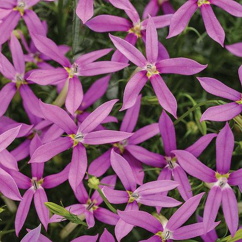 Isotoma Axillaris Patti's Pink