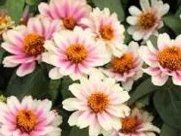 Zinnia Cherry Bicolor