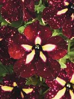 Petunia Headliner Starry Sky Burgundy
