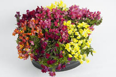 Snapdragon Candyshowers