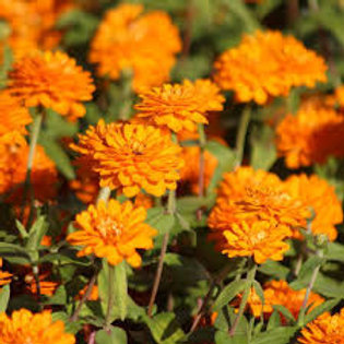 Zinnia Zahara Bright Orange
