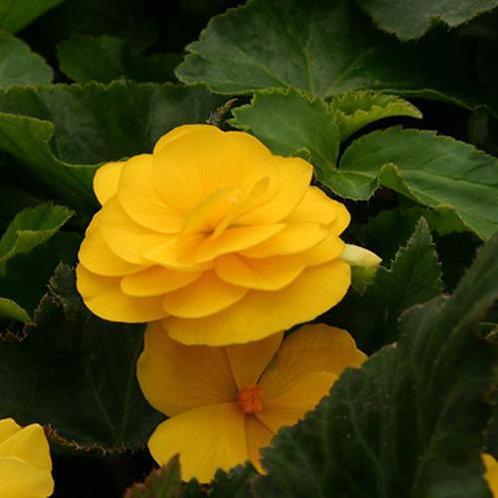Tuberous Begonia Non-Stop Mocca Yellow