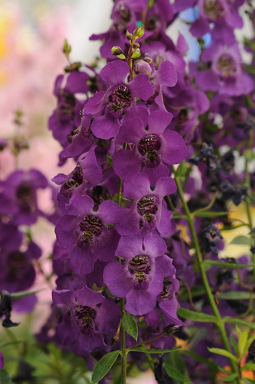 "Angelonia Dark Purple ""Archangel"""