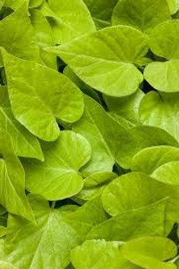 Sweet Potato Vine Sweetheart Lime