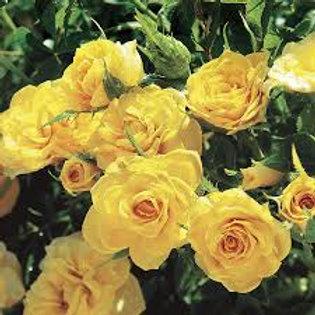 Rose, Sun Sprinkles
