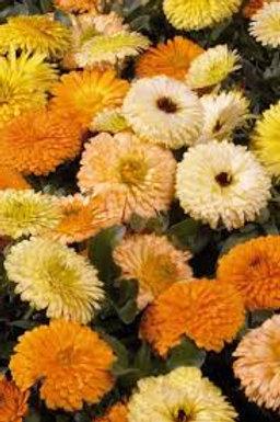 Calendula Bon Bon Yellow
