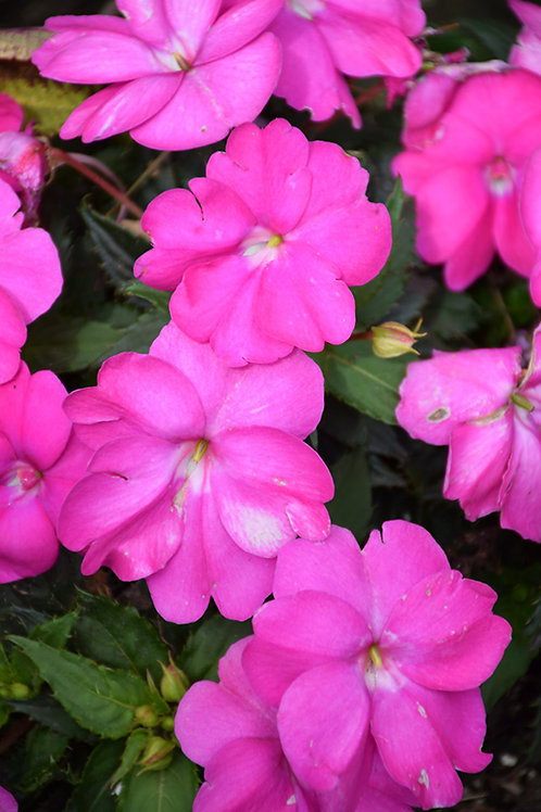 New Guinea Peticoat Neon Night  Impatiens