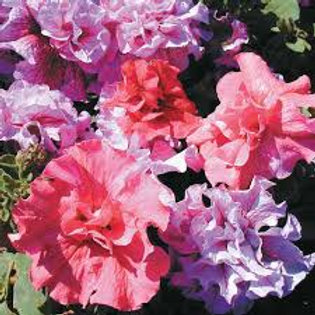 Petunia Cascade Double Mix