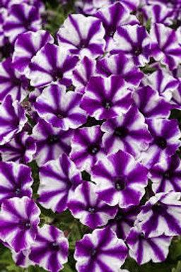 Petunia Supertunia Mini Vista Violet Star