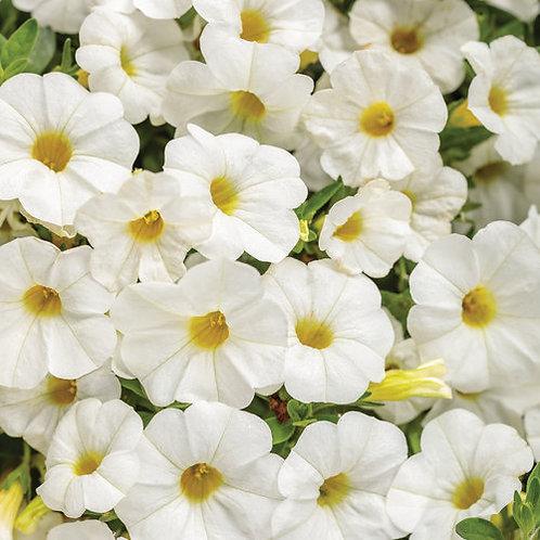 Calibrachoa Superbells Compact White