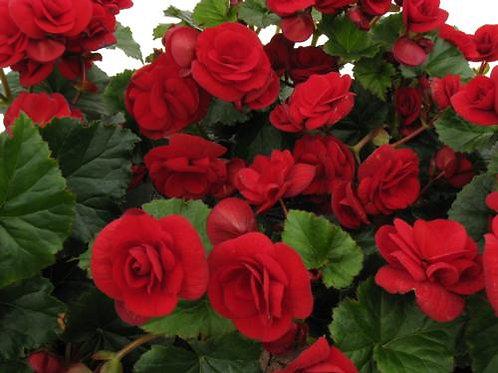 Begonia Solenia Velvet Red