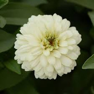 Zinnia Zahara Double White